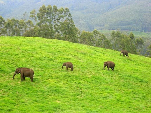 Wild Indian Elephants from Munnar