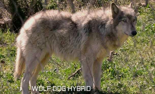 Wolfdog hybrid