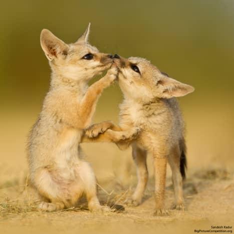 Bengal fox pups