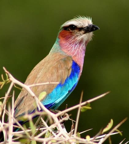 Lilac-breasted Roller (Coracias caudatus) photographed in Botswana.