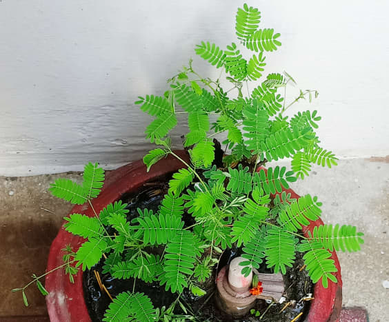 Shami (Prosopis cneraria) Tree
