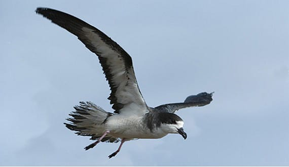 This is a photo of the Hawaiian petrel bird, an endangered seabird that resides in the central subtropical Pacific Ocean and has been known to breed only within the major Hawaiian Islands.