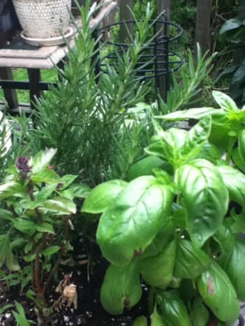 One of my favorite mixes: Red basil, green basil, and rosemary.