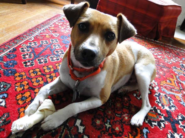 The face of a Rat Terrier? Fine boned, sleek, expressive. Not all Ratties have standing ears.