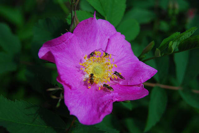 """R. rugosa roses are usually """"singles"""" having one row of five petals."""
