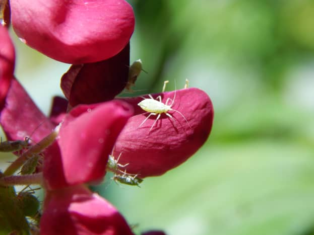 Aphid on Lupine flower