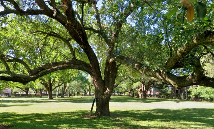 Beautiful trees in Carolyn H Wolff Park