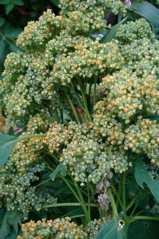 Quinoa pre flowering stage