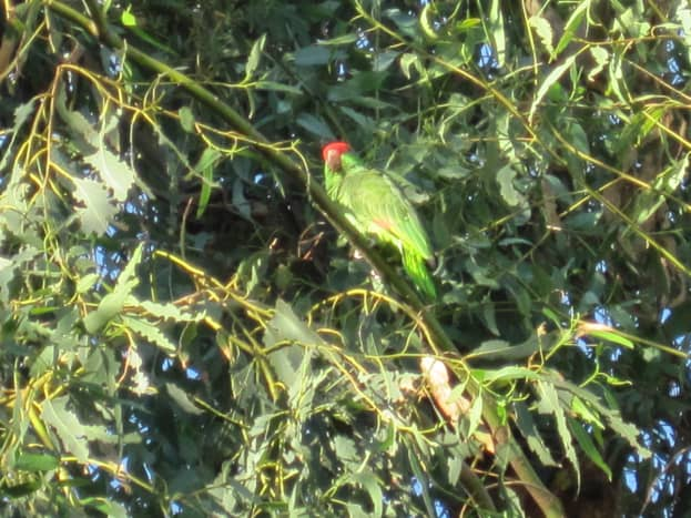 Red-crowned parrot. THERE. This is why I'm so fascinated by them... aren't they lovely?