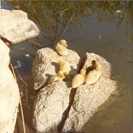 Ducks at Hillside Dams