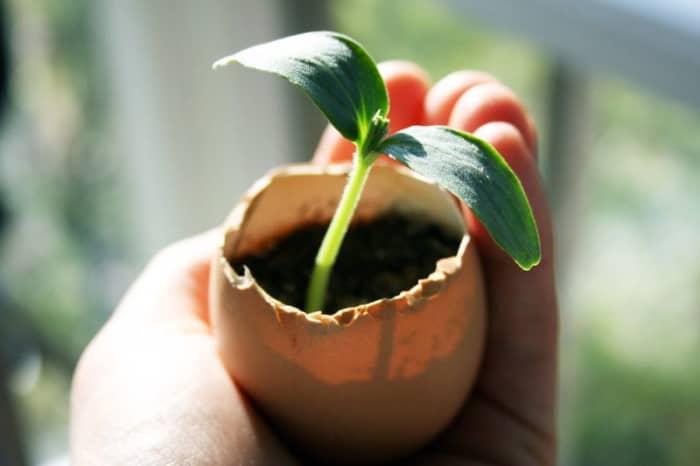 Basic eggshell planter instructions.