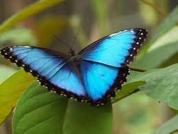 Big Blue Butterfly