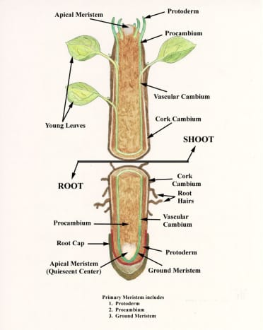 internal-structure-of-root