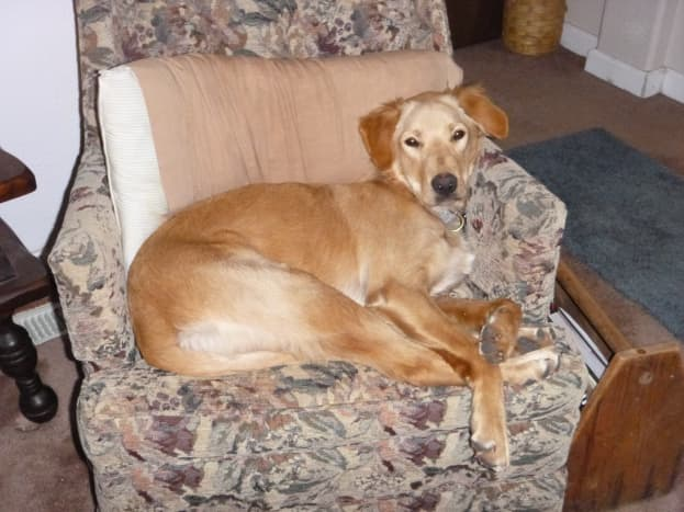 """Remmy, our """"happy tail"""" dog, looking comfortable."""