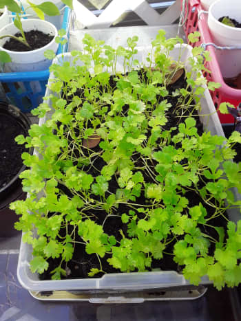Cilantro is really easy to transplant.