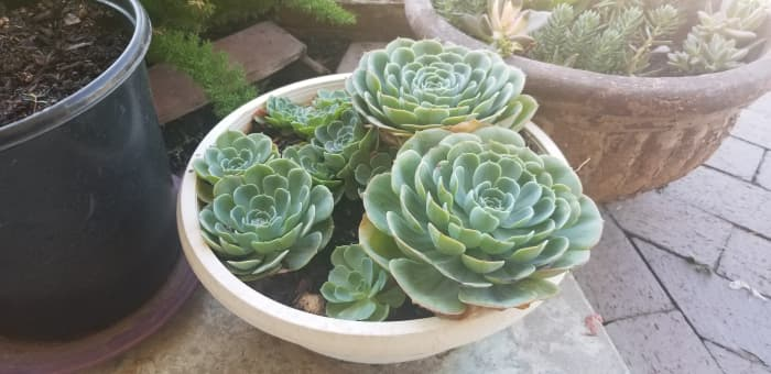 Succulents are great for xeriscaping.