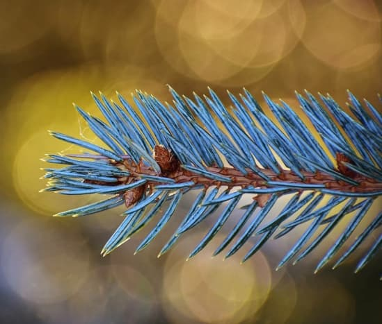Giant fir leaf