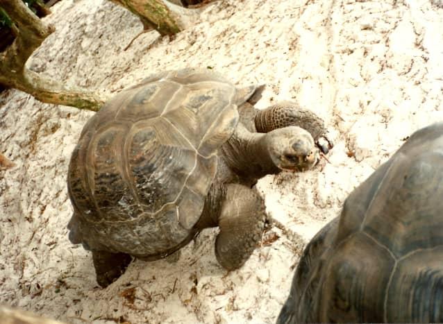 Galápagos tortoises on Discovery Island