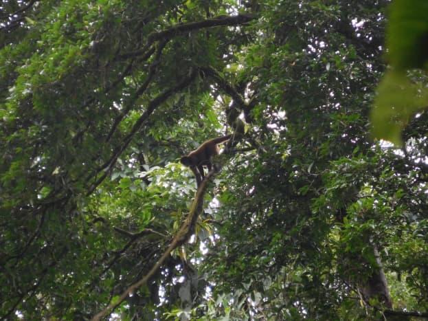 Spider monkey in Costa Rica's Sensoria Rainforest.