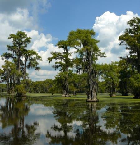 Trees growing in swampy areas
