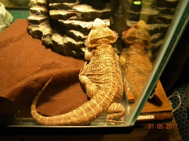 Alice with brown reptile carpet substrate.