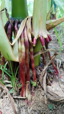 Strong, colorful roots hold the corn stalks in place.