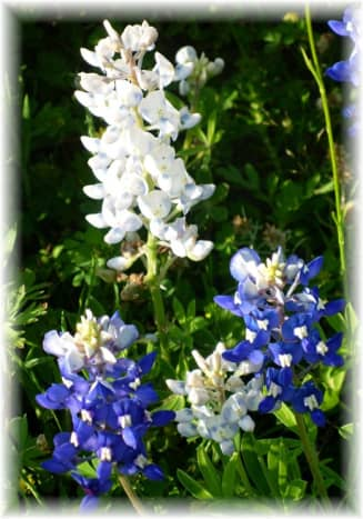 Blue and White Bluebonnets