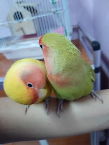 lovebird-leg-pain-a-personal-experience