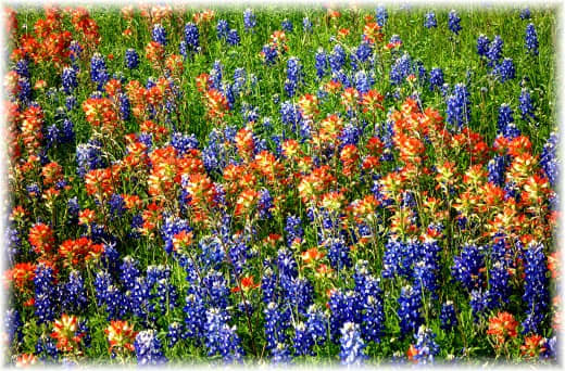Bluebonnets and wildflowers in the field adjacent to Windy Winery