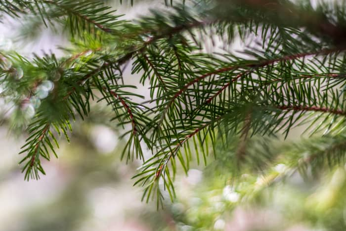 christmas-fir-tree-types-usage-and-ecology