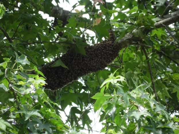 Honey bee swarm in a tree.