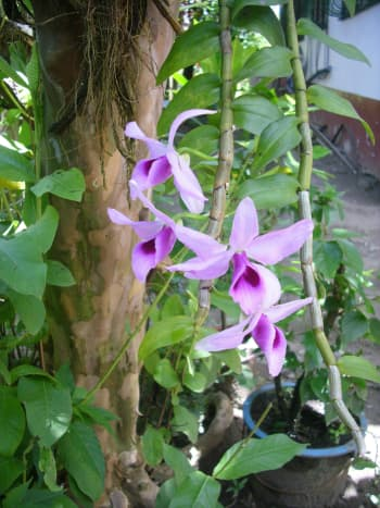 I still have to find the real name of this orchids. If you know, please tell me;-)