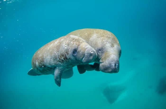 Mother and calf swimming