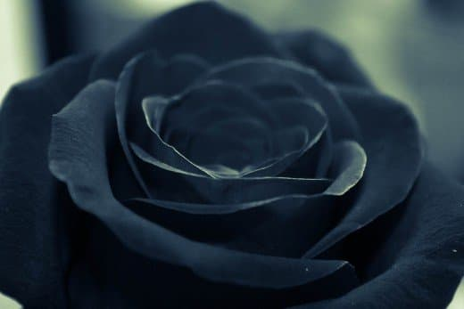 Black roses are often associated with death.