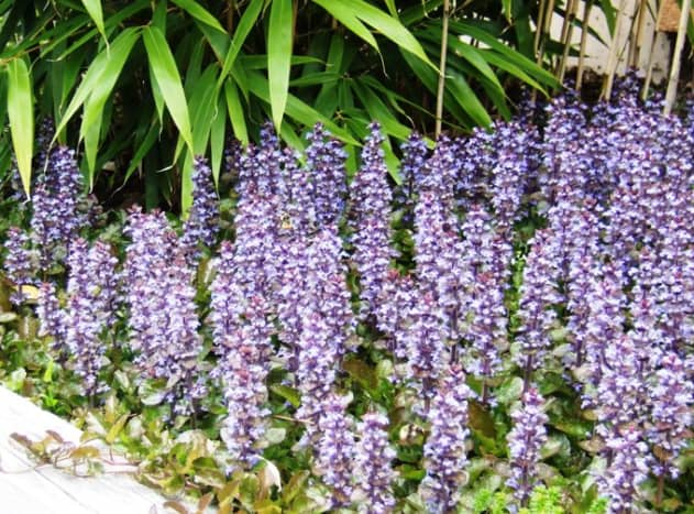 Ajuga, with its spikes of blue flowers can fill in an area quickly.