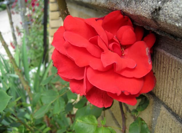 I shot one of these roses against the brick.