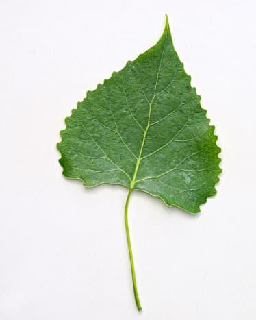 (Poplar) Eastern Cottonwood Leaf