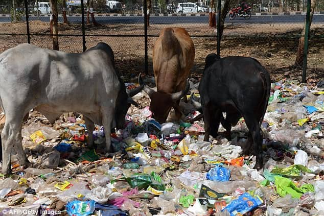 cows forage on plastic bags