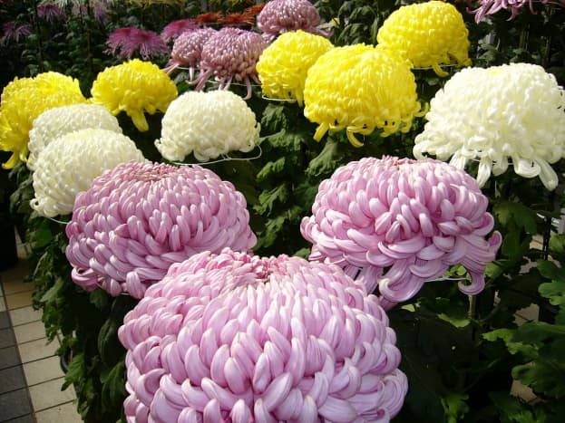 The Chrysanthemum is the only bedroom plant recommended that has been identified by NASA as a good anti-pollution plant for the indoors. The other anti-pollution plants are upward-growing, energetic ones that work better in other parts of the home.