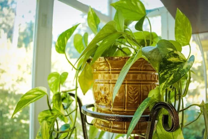 Golden Pothos is one of the best low-light plants. It can grow absurdly long. I've seen houses where the plant is wound around the ceiling.