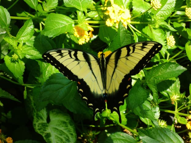 Butterfly on the flowering Lantana