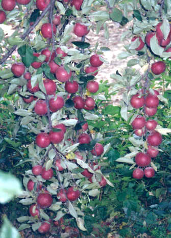 Apples on my uncle's trees