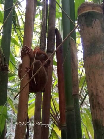 The best Tarsier photo my niece Girlie Grace has taken at the Sanctuary.