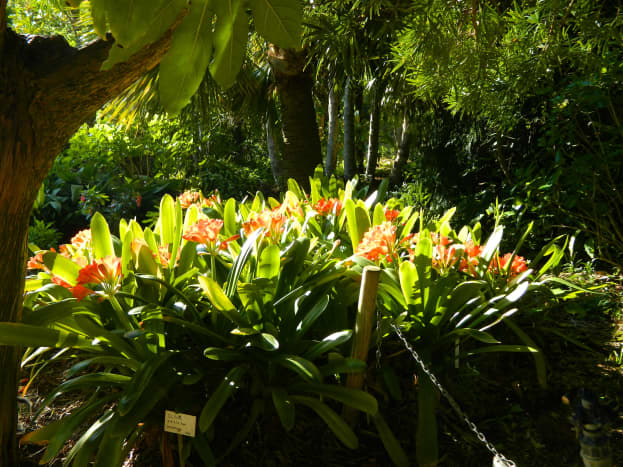 A huge Clivia basking in the sun.