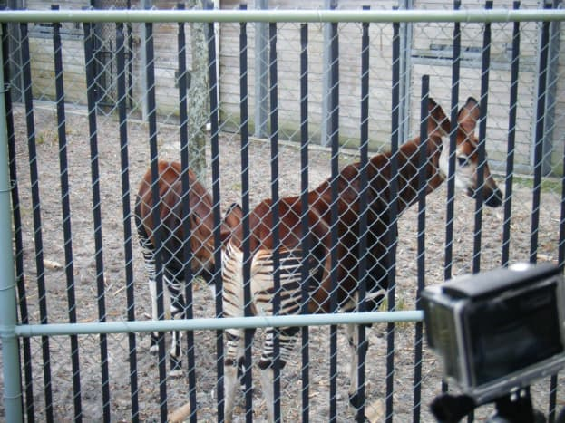 The okapi calf is trying to nurse from her mother
