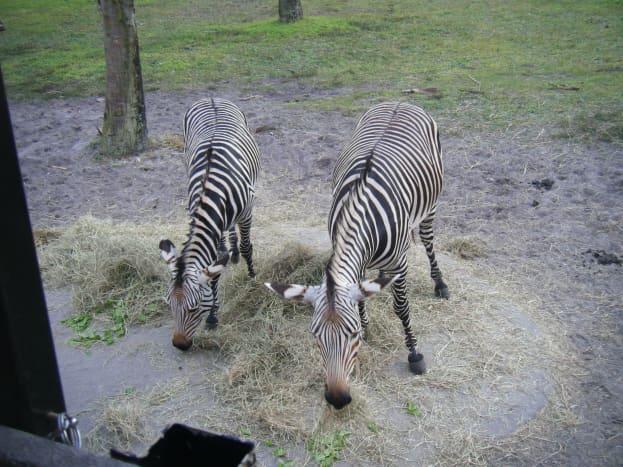 walt-disney-world-beyond-the-parks-wanyama-safari
