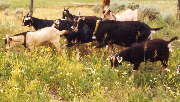 Grazing goats near Grand Lake, Colorado