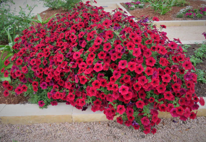 Petunias, Petunia exserta, native to South America. An annual, grown best from seed and watered often.