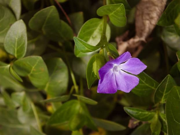 Vinca, Vinca major, native to the Mediterranean region. Also known as periwinkle. A trailing vine often planted under shade trees. Is frost tolerant.