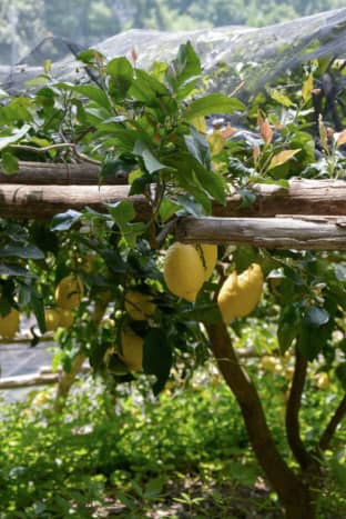 Close-up of lemons growing in the Amalfi Coast